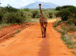 Unterwegs auf Safari im Tsavo West Nationalpark in Kenia